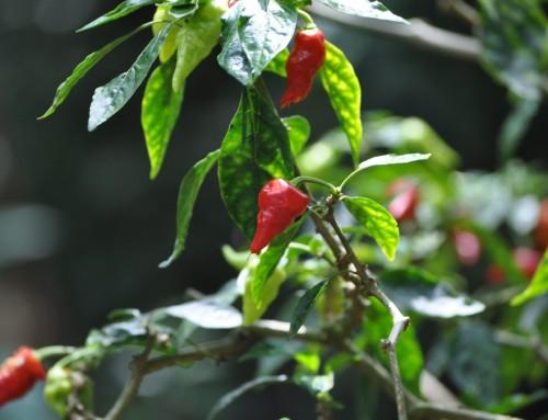Cardamom Hills Spice Plantation Tour