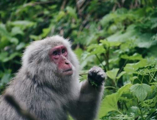 How to visit Japan's Snow Monkey Park